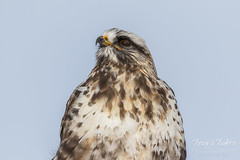 Rough Legged Hawk looks skyward