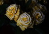 DSC_4218 Roses (PeaTJay) Tags: nikond750 reading lowerearley berkshire macro micro closeups gardens indoors nature flora fauna plants flowers bouquetofroses rose roses rosebuds