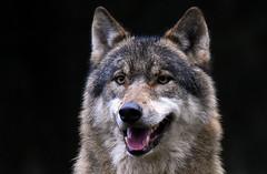 The New One! (Nephentes Phinena ☮) Tags: wolf greywolf europäischergrauwolf europeangreywolf wildparkeekholt nikond500