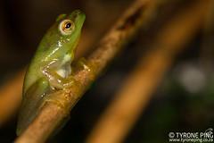 Hyperolius pusillus - Water Lilly Frog. (Tyrone Ping) Tags: hyperolius pusillus water lilly frog amphibians africa african animals amphibian wwwtyronepingcoza tyroneping mt24ex macro canon7d 100mmmacrof28