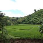 Reisfeld bei Chiang Rai