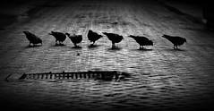 [ Civiltà - Civilization ] DSC_1320.3.jinkoll (jinkoll) Tags: road street city bw amsterdam birds silhouette reflections town moving stones pigeons drain queue sewer