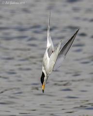 Forster's Tern (splash photos below) (Bob Gunderson) Tags: california birds northerncalifornia southbay santaclaracounty terns forsterstern sternaforsteri shorelinelake canoneos7dmarkii