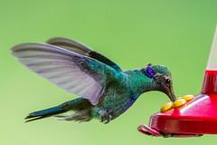 Colibr (Jos M. Arboleda) Tags: canon eos colombia hummingbird jose ave 5d tamron colibr arboleda markiii trochilidae trochilinae coconuco josmarboledac sp150600mmf563divcusda011