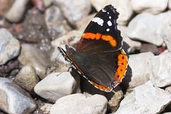 Butterfly (Arthur Zaczek) Tags: butterfly insekt schmetterling canon100f28macro