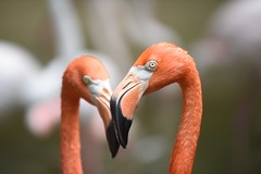 Flamingo (floridapfe) Tags: red color nature animal zoo flamingo korea everland