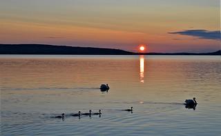Mute Swans life. Sunset on the lake Vesijärvi, Summer, Finland