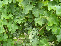 "Grapes Before Veraison • <a style=""font-size:0.8em;"" href=""http://www.flickr.com/photos/133405556@N08/20052707886/"" target=""_blank"">View on Flickr</a>"