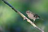 Simplet (Jacques GUILLE) Tags: 09 ariège commonchaffinch domainedesoiseaux fringillacoelebs fringillidés mazères passériformes pinsondesarbres bird oiseau