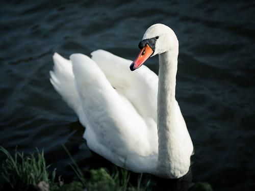 Project 366 - 358/366: Posing swan