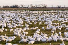 Grazing (m e a n d e r i n g s) Tags: snowgeese pacificflyway wintering migration california chencaerulescens goose waterfowl flock forage