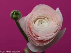 "On the table, ""Soft Pink Ranunculus XL"" (A.J. Boonstra) Tags: softpinkranunculusxl ranonkel ranunculus flower spring macro closeup canon canon70d canoneos ef100mmf28lmacroisusm falconeyeswhiteumbrella westcottsilverumbrella falconeyesskk2150d"