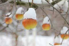 Believe it or not (Inka56) Tags: apple snow outdoor winter bokeh fruit