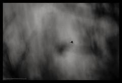In the meantime, a grey heron was flying back to the nest (s1nano) Tags: nikkor300mm45ai heron bird birdinflight bif animal minimal minimalism blackandwhite bw nikond7000 manualfocuslens aislens bokeh