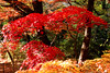 Autumn Leaves in Todoroki Valley Park in Setagaya, Tokyo : 等々力渓谷公園の紅葉 (Dakiny) Tags: 2016 winter december japan tokyo setagaya nature landscape park street plant tree maple autumnleaves red nikon d7000 afsdxnikkor35mmf18g nikonafsdxnikkor35mmf18g nikonclubit