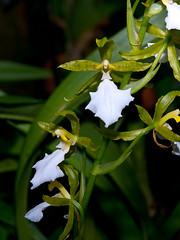 Odontoglossum (Eerika Schulz) Tags: odontoglossum hannover herrenhausen berggarten herrenhäuser gärten garten