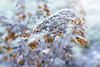 Frosty Hydrangea (Jacky Parker Floral Art) Tags: hydrangea flowerheads seedheads closeup macro selectivefocus focusonforeground outdoors nopeople horizontalformat landscapeorientation beautyinnature floralart frost frosted frozen winter season cold icy decay blooms flora stems shrub domestic garden flowerphotography winterphotography uk nikon