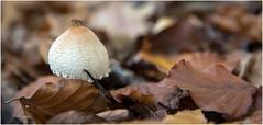 Visitor . (:: Blende 22 ::) Tags: deutschland germany thüringen thuringia eichsfeld landkreiseichsfeld iberg heilbadheiligenstadt eic wald forest pilze mushroom funghi boden waldboden canoneos5dmarkiv ef2470f28liiusm fly fliege