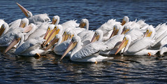 Nineteen swamp swans. (Jill Bazeley) Tags: viera wetlands brevard county florida melbourne bird sanctuary refuge white pelican pelecanus erythrorhynchos wildlife great birding trail sony 6300 70200mm space coast festival a6300 ritch grissom memorial