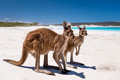 Beach Buddys (bayernphoto) Tags: australien western australia westaustralien kängurus kangaroos kangaroo beach strand weiss white cape le grand np national park nationalpark sonnig traumstrand dream beuteltier marsupial lucky bay