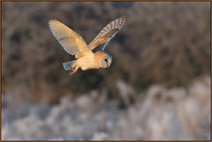 Barn Owl (image 2 of 2) (Full Moon Images) Tags: rspb fen drayton lakes wildlife nature reserve cambridgeshire bird flight flying prey birdofprey barn owl