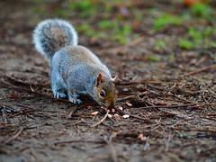 Squirrel 2 (Mirrorlessview) Tags: olympus penf squirel
