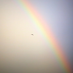 Flying to the Rainbow (grass-lifeisgood) Tags: rainbow bird flying colourful minimalist nature sky canon ef100mm f28l is