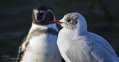 Black-headed Gull (Paula Darwinkel) Tags: gull penguin seagull bird nature wildlife nortic animals