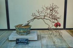 Pomegranate bonsai tree (tcd123usa) Tags: longwoodgardens pennsylvania leicadlux4 winter2017 bonsai