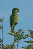 Turquoise-fronted Amazon (Tim Melling) Tags: amazona aestiva turquoisefronted amazon parrot bluefronted pantanal brazil timmelling
