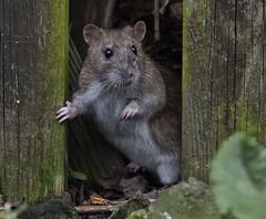 DSC_4418 Rat (Rattyman76) Tags: rat posing cute d810 nikon