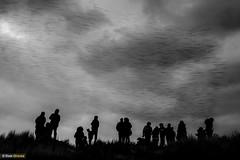 Murmurised III (Dom Greves) Tags: behaviour bird dorset flock january murmuration pooleharbour purbeck starling studland sturnusvulgaris uk wildlife winter people