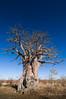 Bold, Bolder, BOLDEST 3 (Alec Lux) Tags: botswana makgadikgadi baobab blue bold bolder boldest dry landscape nature saltpan savannah sky thick tree