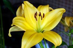 Enlightment (Pensive glance) Tags: lily lilium lys fleurdelys flower fleur plant plante