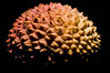Lychee - Dinosaur Egg (2) (GLVF) Tags: litchi lychee dinosaur egg triceratops skin texture spikes piques macro fruit carapace écailles scales rose pink yellow jaune noir black background studio corail coral flower fleur alien dragon oeuf liechee liche lizhi 11 foca hr7