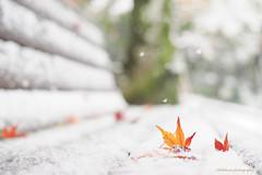 Fallen Leaves with Snow (Nov 2016) (littlekiss☆) Tags: fallenleaves snow snowfall kamakura japan winter littlekissphotography