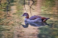 effets d'eau (rondoudou87) Tags: oie egyptienne pentax k1 parc zoo reynou nature natur eau wildlife wild water egyptian goose bird oiseau