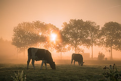 Magical Morning (Esther5h (On and Off)) Tags: 2016 mist mistig nevel november landscape landschap cow koe tegenlicht