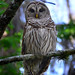 Barred Owl at Lettuce Lake