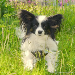 Charlie in the long grass at Cockenzie House, 30 May 15 (Castaway in Scotland) Tags: dog pet cute animal scotland adorable east papillon lothian