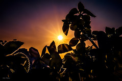 sunrise (Nits D'silva) Tags: camera light sunset sky sun plant macro leaves night photoshop sunrise photography evening nikon singapore day colours purple background creative rays sunrays organe oregano prespective d300 nits photographicalmemories