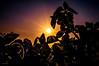 sunrise (Nits D'silva) Tags: camera light sunset sky sun plant macro leaves night photoshop sunrise photography evening nikon singapore day colours purple background creative rays sunrays organe oregano prespective d300 nits photographicalmemories