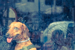 Hey there... (dreamer****) Tags: dog pet reflection window animal vintage sadness 50mm friend dirty crossprocessing nikkor mate dirtywindow littledoglaughednoiret