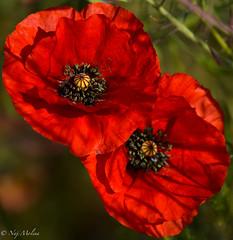 Cote a cote (mnathalie66) Tags: red flower fleur plante rouge champ coquelicot