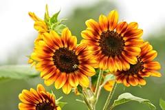 Sunflowers - 2015 (deanrr) Tags: plant flower nature garden outdoor alabama sunflowers bloom morgancountyalabama summer2015
