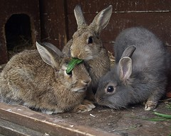 Brothers (rjmiller1807) Tags: bunnies animals june babies buns rabbits bunz oxfordshire rspca harwell babyanimals 2015 rehoming