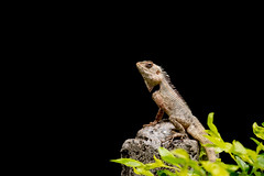I am my Own BOSS. (Rohit Panicker) Tags: nature animal canon outdoor reptile national chameleon geographic natgeo canon70d