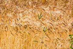 199.365.2015 Nearly harvest time (Claire Plumridge) Tags: barley wheat harvest 365 day199 365project 365daysor52weeks 2015yip 365the2015edition 3652015 2015ayearinpictures 1993652015