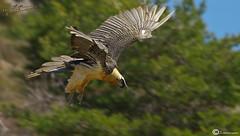 quebrantahuesos (I. Alberdi Ezpeleta) Tags: ngc npc quebrantahuesos bartgeier lammergeier gypaetusbarbatus gypatebarbu quebraossos trencals avvoltoiobarbuto ugatz quebraso