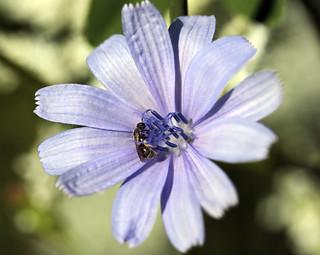 Cornflower Visitor 08012015